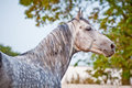 Evening portrait gray horse on ranch paddo�k Royalty Free Stock Images