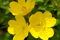 Evening primrose blooms closeup yellow flowers or oenothera macrocarpa in full bloom and closuep Stock Image