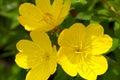 Evening primrose blooms closeup yellow flowers or oenothera macrocarpa in full bloom and closuep Stock Image