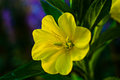Evening primrose flower with drops of dew a bright yellow closeup morning sun lit blurred background Stock Photo
