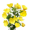 Evening Primrose Royalty Free Stock Photo