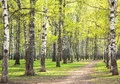 Evening sunny birch park with first greens in may spring Stock Photography