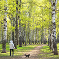 Evening walking in sunny spring birch park with first greens Royalty Free Stock Photo