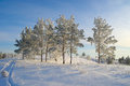 Evening winter landscape with pines Stock Image