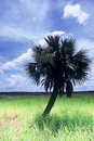 Everglades Wild Palm Stock Image