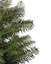 Evergreen Boughs Royalty Free Stock Photo