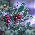 Evergreen boughs green leaves and red berries. Ilex aquifolium Christmas holly natural decor Royalty Free Stock Photo