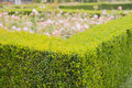 Evergreen boxwood hedge adorn a rose garden Royalty Free Stock Photo