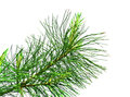 Evergreen branch Royalty Free Stock Photo