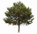 Evergreen coniferous tree Stock Images