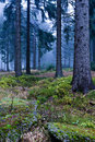 Evergreen forest Royalty Free Stock Photos