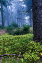 Evergreen forest Stock Photos
