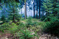 Evergreen forest Royalty Free Stock Image