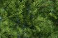Evergreen Full Frame Royalty Free Stock Photo