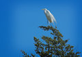Evergreen heron a white perched at the very top of an tree Stock Images