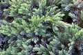 Evergreen juniper background. A photo of the bush with green needles. Ornamental thorns of Juniperus communis, treetop edges. Royalty Free Stock Photo