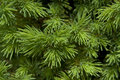 Evergreen Needles Royalty Free Stock Photo