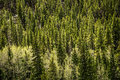 Evergreen pine beautiful scenic landscape of a forest of and aspen trees on the side of a mountain at sunrise sunset taken on mt Royalty Free Stock Photos