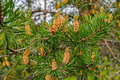 Evergreen pine tree branch Royalty Free Stock Photo