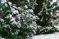 An Evergreen and Pine Tree with Fresh Snow at a Suburban Home