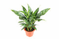 Evergreen plant with a white background rohdea japonica Royalty Free Stock Photography