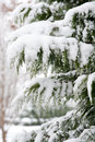 Evergreen Snow Stock Images