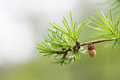 Evergreen spruce branch with bud, young fir-cone. Spring nature concept. macro view, soft focus. Royalty Free Stock Photo