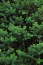 Evergreen Tree Royalty Free Stock Photo