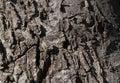 Evergreen tree bark Macro photo Royalty Free Stock Photo