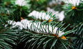 Evergreen tree with snow Royalty Free Stock Photo