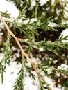 Evergreen tree with white snow Royalty Free Stock Photo