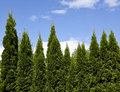 Evergreen trees Stock Images