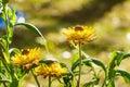 Everlasting flower yellow in the garden Stock Image