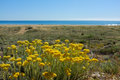 Everlasting flowers Stock Image