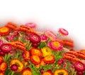 Everlasting flowers fresh border isolated on white background Royalty Free Stock Image
