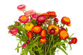 Everlasting flowers fresh bouquet isolated on white background Stock Image