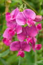 Everlasting Sweet Pea Flowers - Lathyrus latifolius Royalty Free Stock Photo