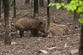Everzwijnfamilie Royalty-vrije Stock Foto's