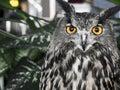 The evil eyes.  Eagle Owl, Bubo bubo Royalty Free Stock Photo