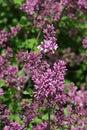 Evolving flower buds and some flowers on dense flower cluster of Korean Lilac, latin name Syringa Meyeri Royalty Free Stock Photo