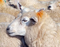 Ewe Royalty Free Stock Images