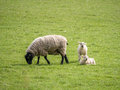 Ewe feeding one lamb standing and one lying Royalty Free Stock Photo