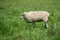 Ewe in field on summers day Stock Image