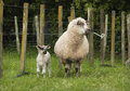 Ewe and Lamb Royalty Free Stock Photo