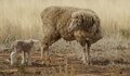 Ewe and Lamb in the Drought Royalty Free Stock Photo