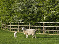 Ewe with lamb by fence umbilical cord visible Royalty Free Stock Photo