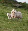 Ewe & Lamb (Ovis aries) Royalty Free Stock Photo