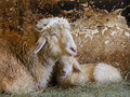 Ewe with lamb in the stable Royalty Free Stock Photography