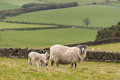 Ewe with newborn lambs in paddock Royalty Free Stock Photo
