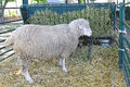 Ewe sheep feeding in pen at farm Royalty Free Stock Image